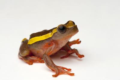 An Upper Amazon Tree Frog, Dendropsophus Bifurcus-Joel Sartore-Photographic Print