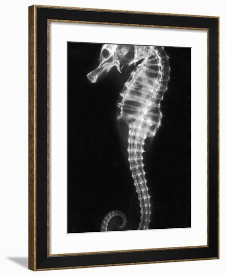 An X-Ray of a Seahorse, Showing its Skeleton--Framed Photographic Print