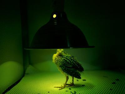 An Young Attwaters Prairie-Chicken Basks in the Warmth of a Heat Lamp-Joel Sartore-Photographic Print