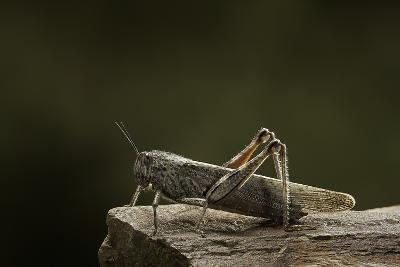 Anacridium Aegyptium (Egyptian Locust)-Paul Starosta-Photographic Print