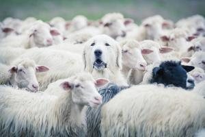 A Shepherd Dog Popping His Head up from a Sheep Flock. Disguise, Uniqueness And/Or Lost in the Crow by ANADMAN BVBA