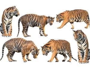 Bengal Tiger Isolated Collection by Anan Kaewkhammul