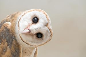 Common Barn Owl ( Tyto Albahead ) Head close Up by Anan Kaewkhammul