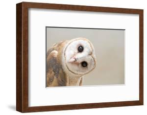 Common Barn Owl ( Tyto Albahead ) Head close Up by Anan Kaewkhammul