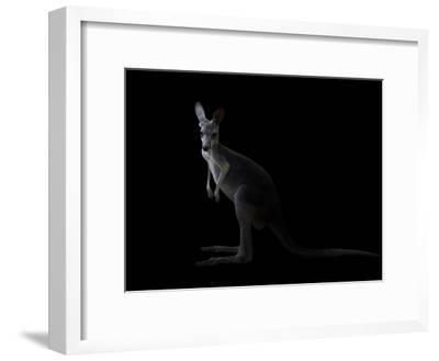 Kangaroo Standing in the Dark with Spotlight