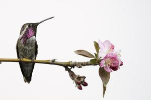 A Hybrid Male Costa's Hummingbird and Anna's Hummingbird Perches on a Tree Branch by Anand Varma