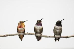 A Male Hybrid Between a Black-Chinned Hummingbird and an Allen's Hummingbird by Anand Varma
