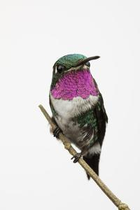 A Male White-Bellied Woodstar, Chaetocercus Mulsant, Hummingbird Perches on a Tree Branch by Anand Varma