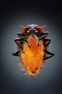 A Parasitic Wasp Spins its Cocoon Between the Legs of a Spotted Lady Beetle by Anand Varma