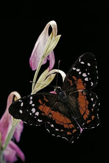 Anartia Amathea (Brown Peacock, Scarlet Peacock)-Paul Starosta-Photographic Print