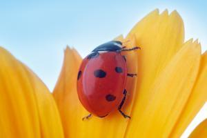 Yellow Flower Petal with Ladybug under Blue Sky by Anatoly Tiplyashin