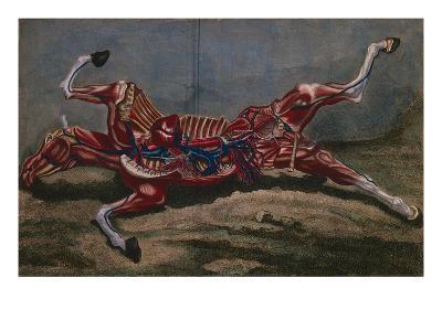 Anatomy of a Horse, from 'Cours D'Hippiatrique Ou Traite Complet De La Medecine Des Chevaux'- Harguinier-Giclee Print
