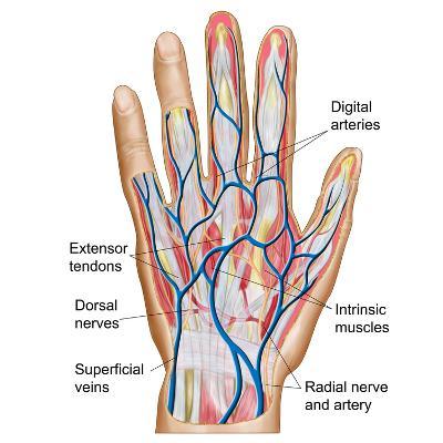Anatomy of Back of Human Hand-Stocktrek Images-Photographic Print
