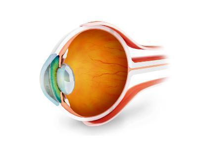 Anatomy of Human Eye, Perspective--Art Print