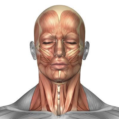 Anatomy of Human Face And Neck Muscles, Front View-Stocktrek Images-Photographic Print