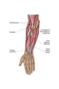 Anatomy of Human Forearm Muscles, Deep Anterior View