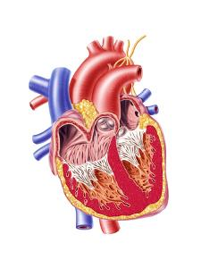 Anatomy of Human Heart, Cross Section
