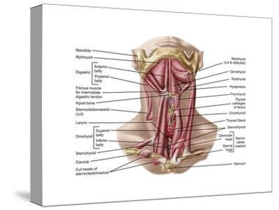 Anatomy of Human Hyoid Bone and Muscles, Anterior View