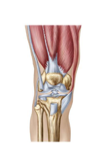 Anatomy of Human Knee Joint--Art Print