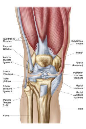 https://imgc.artprintimages.com/img/print/anatomy-of-human-knee-joint_u-l-pn8cnm0.jpg?p=0
