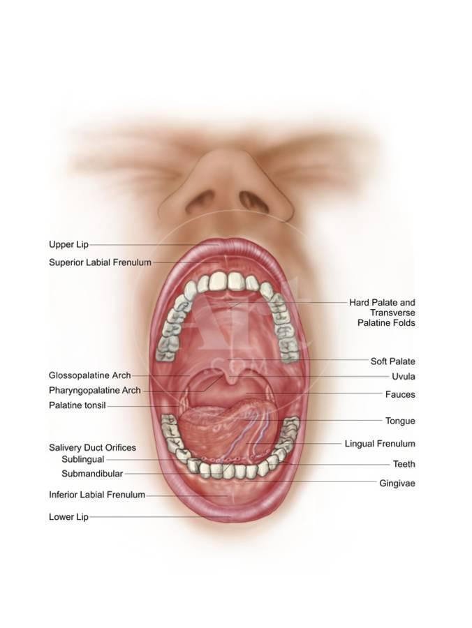 Anatomy Of Human Mouth Cavity Art Print By Art