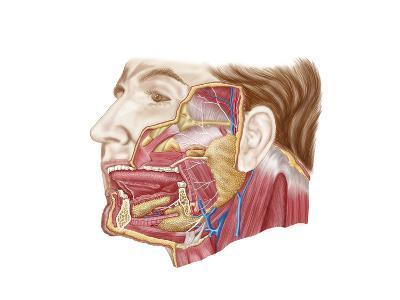 Anatomy of Human Salivary Glands--Art Print