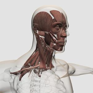 Anatomy of Male Facial and Neck Muscles, Front View
