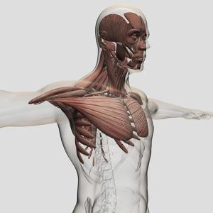 Anatomy of Male Muscles in Upper Body, Anterior View