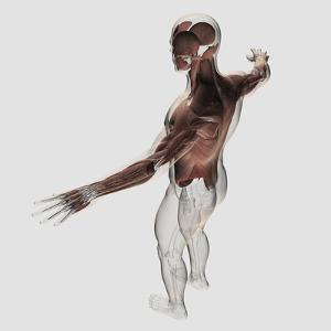 Anatomy of Male Muscles in Upper Body, Posterior View