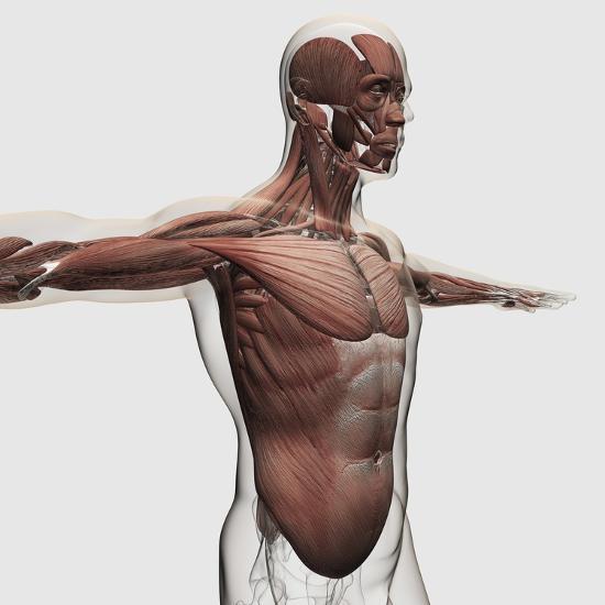 Anatomy of Male Muscles in Upper Body, Side View--Art Print