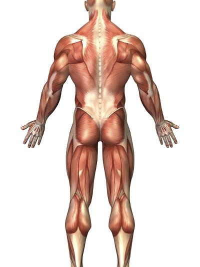 Anatomy of Male Muscular System, Back View-Stocktrek Images-Photographic Print