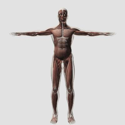 Anatomy of Male Muscular System, Front View--Art Print