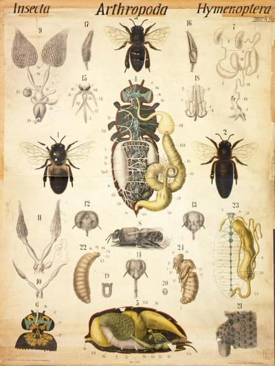 Anatomy of the Apis, No.XXVII, Leuckart's Zoological Wall Chart, 1877-98--Giclee Print