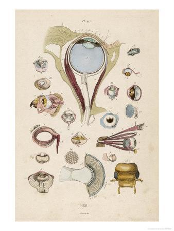 https://imgc.artprintimages.com/img/print/anatomy-of-the-eyes_u-l-ot58s0.jpg?p=0