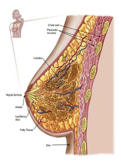 Anatomy of the Female Breast-Stocktrek Images-Photographic Print