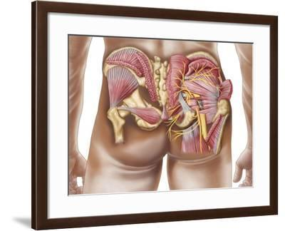Anatomy of the Gluteal Muscles in the Human Buttocks--Framed Art Print