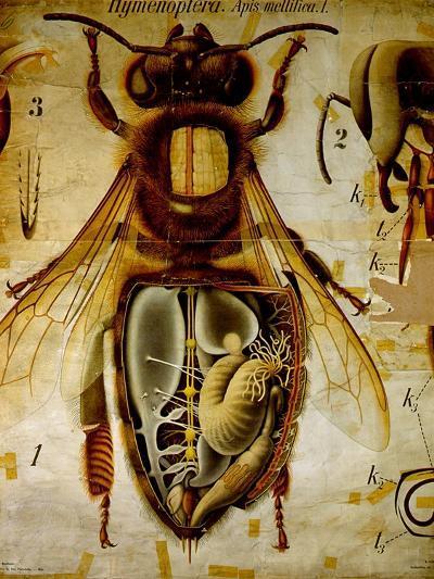 Anatomy of the Honey Bee, No.13, Pfurtscheller's Zoological Wall Chart-Paul Pfurtscheller-Giclee Print