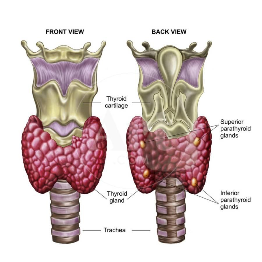 Anatomy of Thyroid Gland with Larynx & Cartilage Photographic Print ...