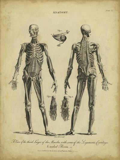 Anatomy Study II-Jack Wilkes-Art Print