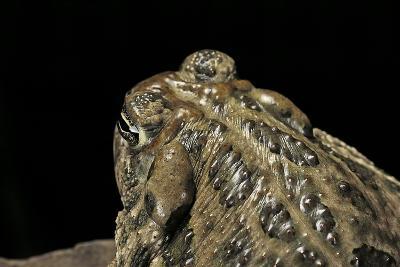 Anaxyrus Cognatus (Great Plains Toad)-Paul Starosta-Photographic Print