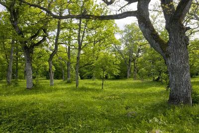 Ancient Wood Pasture, Estonia-Bob Gibbons-Photographic Print