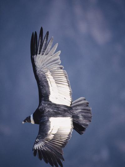Andean Condor, Adult Female in Flight, Colca Canyon, Southern Peru-Mark Jones-Photographic Print