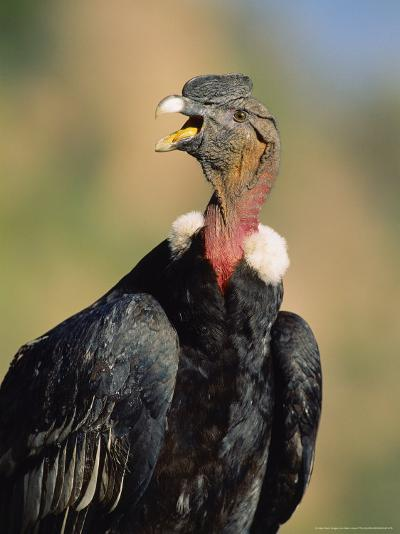 Andean Condor, Adult Male, Colca Canyon, Southern Peru-Mark Jones-Photographic Print