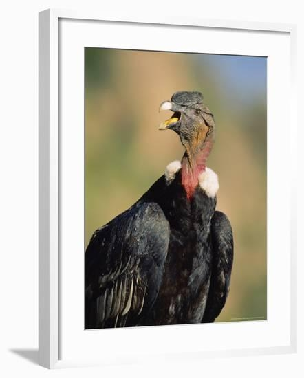 Andean Condor, Adult Male, Colca Canyon, Southern Peru-Mark Jones-Framed Photographic Print