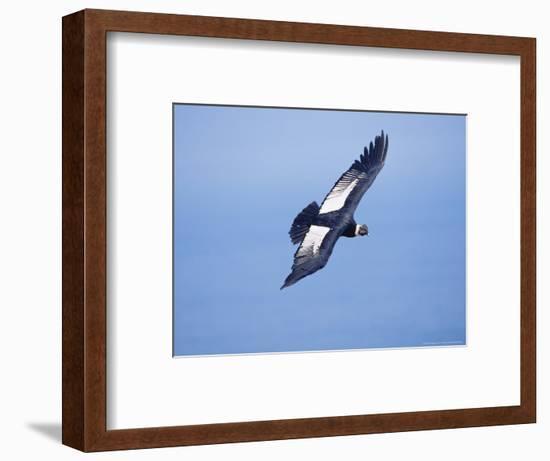 Andean Condor, Adult Male Flying Over Atacama Desert Coast, Peru-Mark Jones-Framed Photographic Print