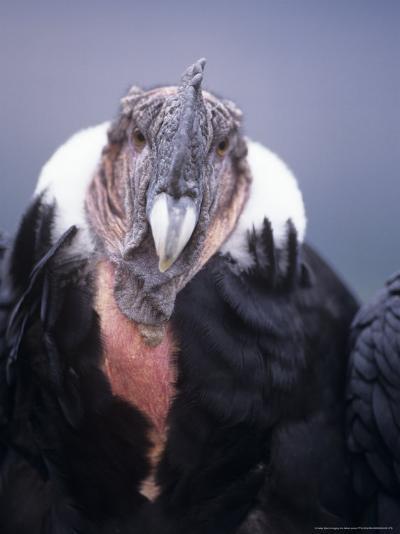 Andean Condor, Adult Male in Prime Colours, Hacienda Zuleta, Cayambe-Mark Jones-Photographic Print
