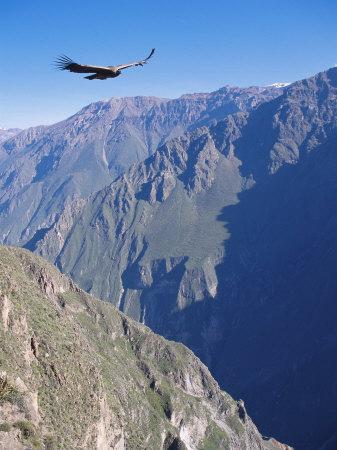 https://imgc.artprintimages.com/img/print/andean-condor-juvenile-male-in-flight-on-morning-thermals-colca-canyon-southern-peru_u-l-q10rbqp0.jpg?p=0