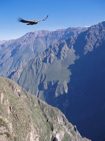 Andean Condor, Juvenile Male in Flight on Morning Thermals, Colca Canyon, Southern Peru-Mark Jones-Photographic Print