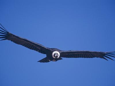 Andean Condor, Peru-Mark Jones-Photographic Print