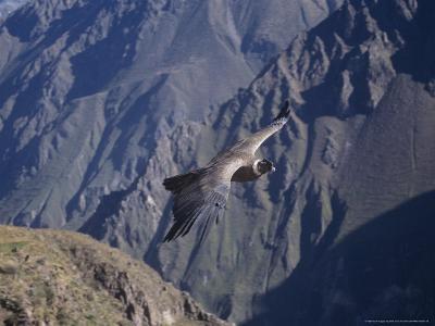 Andean Condor, Sub-Adult Male in Flight, Peru-Mark Jones-Photographic Print